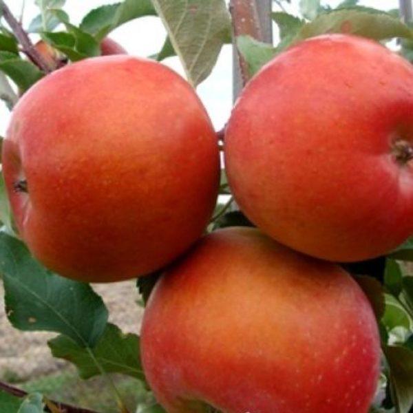 сорт яблони бени шогун.