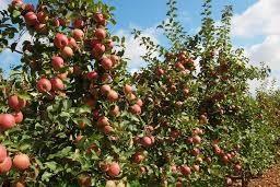 Сорт яблок Бени Шогун - не путать с Фуджи!