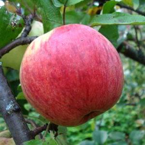 сорт яблони чистотел.