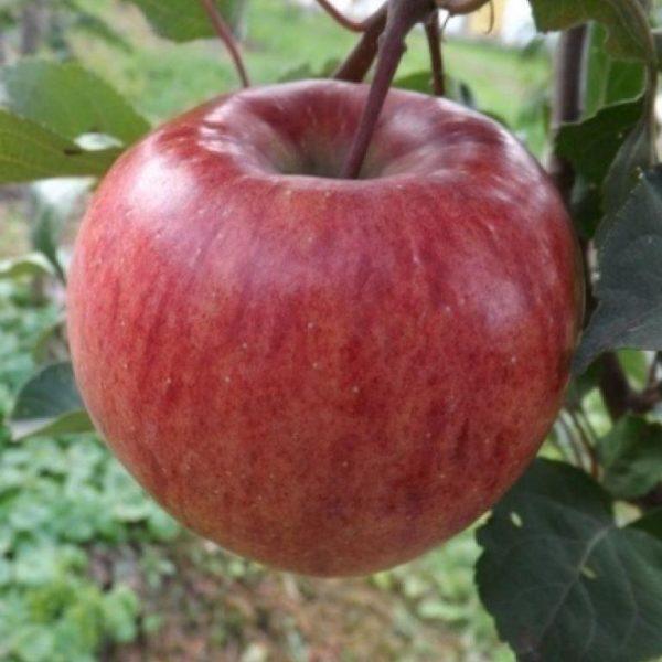 яблоки керол.