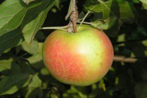 яблоки теллисааре.