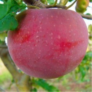яблоко аскольда.