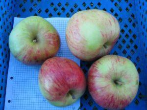 сорт яблок татьянин день.