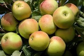 яблоки заря алтынау.