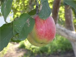 яблоки кэрол.