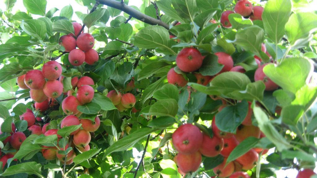 Плоды сорта Авенарис.