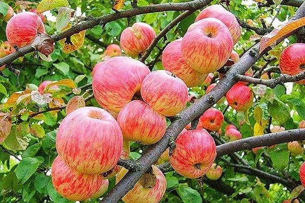 Яблоня Авеариус.