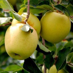 сорт яблок голден владимирский.