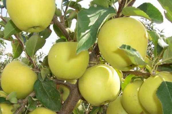 яблоня голден владимирский.