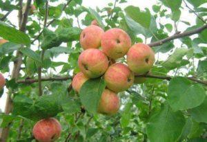 Уральский сувенир яблоки.