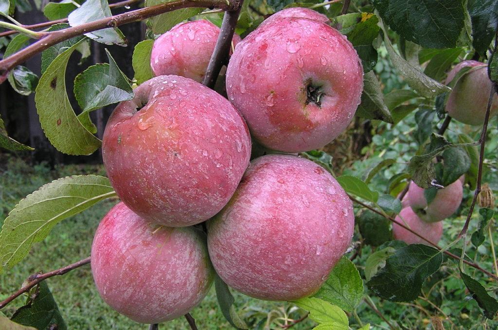 яблоки Викор.