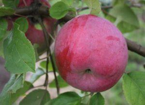 Яблоко Викор.