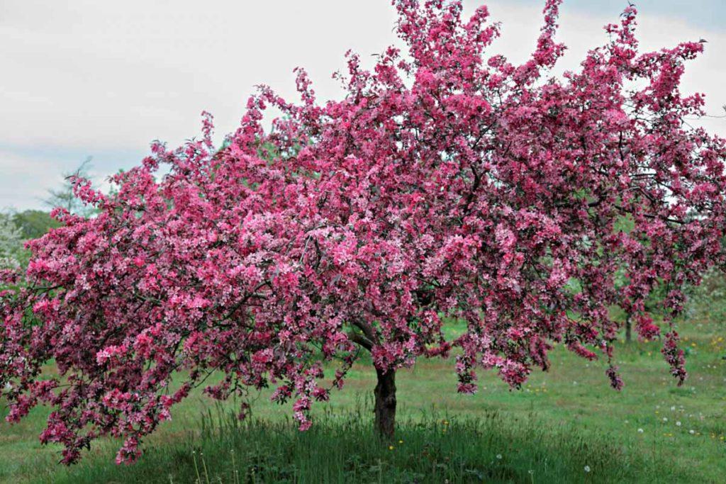 Яблоня декоративная Макамик.