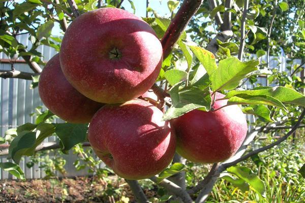 яблоки скрыжапель.