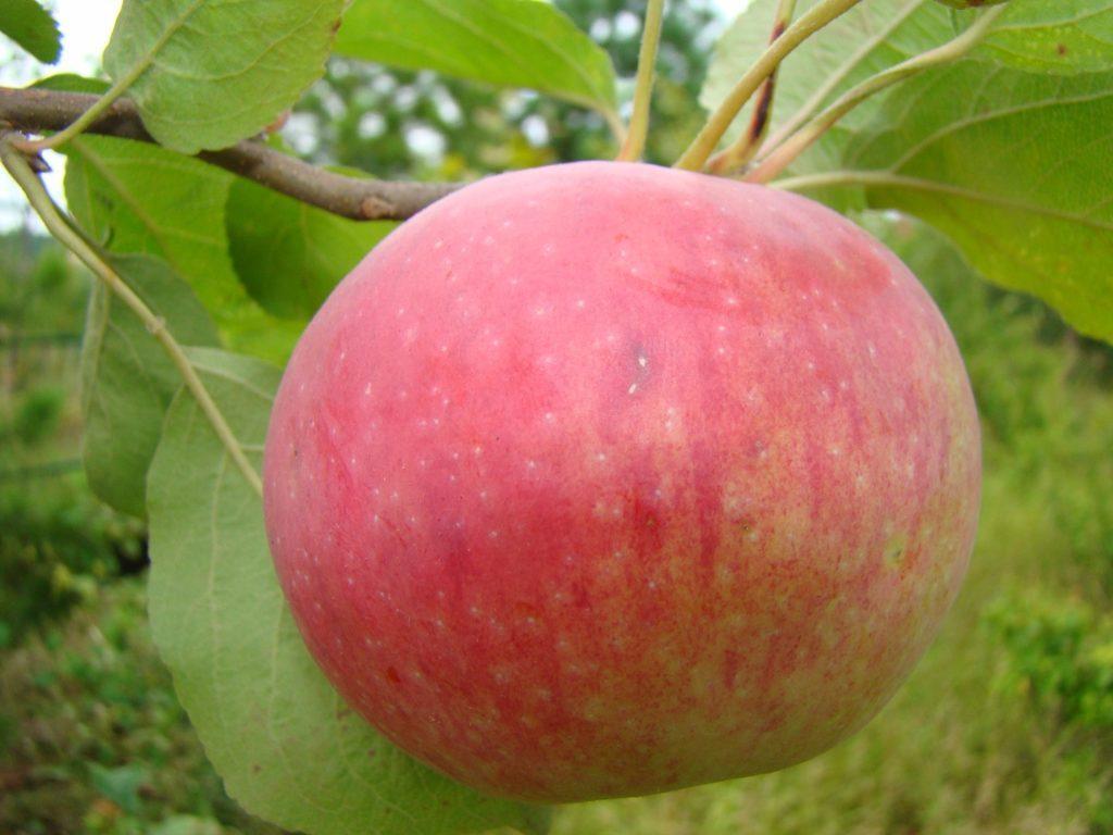яблоко мезенская.