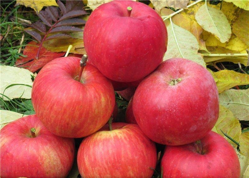 Яблоня красный рубан.