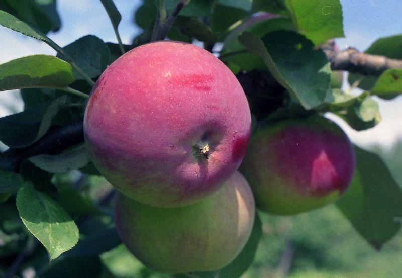 яблоня фармел.