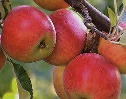 яблоня коричное ананасное.