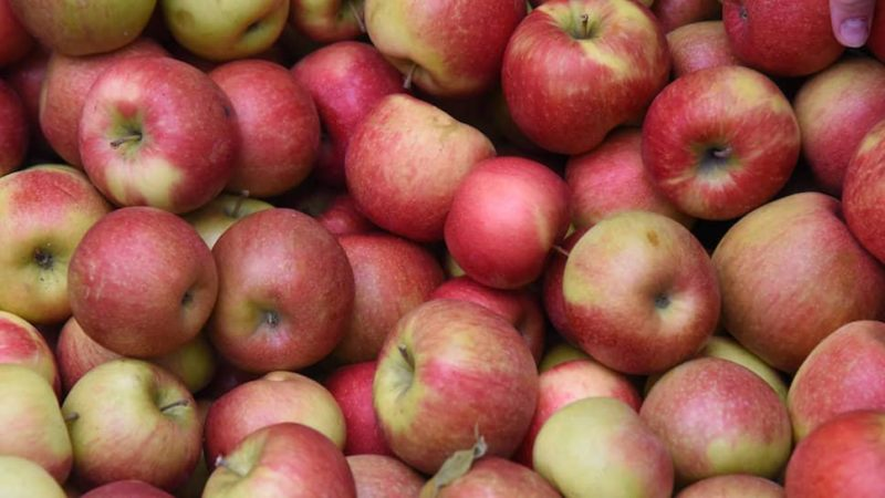 сорт яблок курьер.